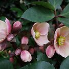 Hellebore... another sign of Spring. by Marjorie Wallace