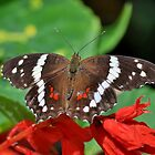 Banded Peacock Butterfly by Kathy Baccari