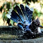 Blue Jay Bath by freevette