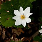 Bloodroot grouping in Bloom by AudraJS