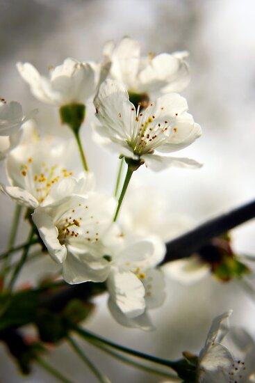 Cherry blossom by Vicki Field