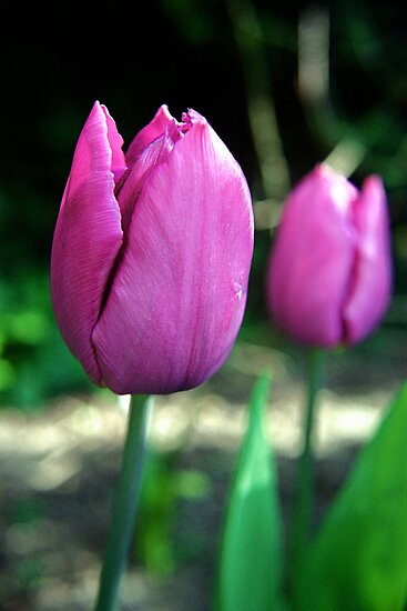 Pink Tulip Flowers by Vicki Field