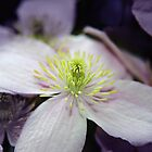 Pink Clematis flower by Vicki Field