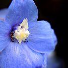 Blue Delphinium flower by Vicki Field