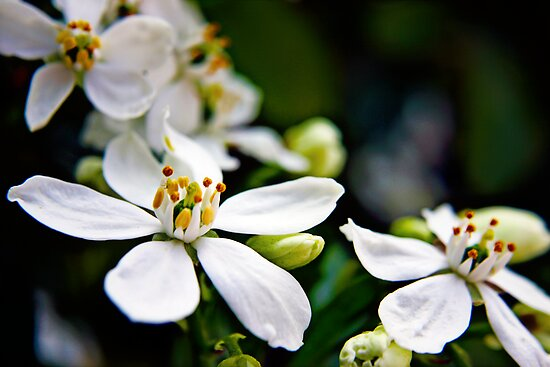 White Choisya flowers by Vicki Field