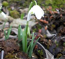 a single snowdrop among dead leaves by Leyh