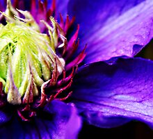 Purple Clematis flower macro by Vicki Field