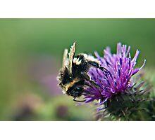Scruffy Old Bumble Bee macro Photographic Print