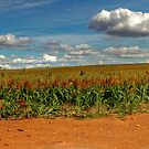 Sorghum Crop by GailD