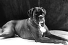 Brindle Female Boxer Portrait in Black & White  by Evita