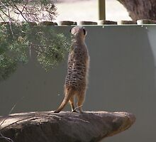 'I WISH I COULD SEE OVER THIS DARN WALL'! Meer cat,Dubbo Zoo. by Rita Blom