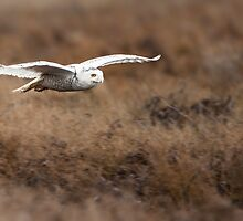 Snowy Owl In-flight by Jim Stiles
