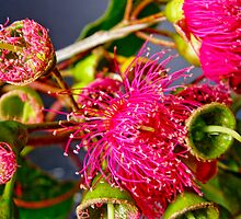 Flowering Gum by tunna