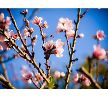The Bee and the Pink Blossoms 1 Photographic Print