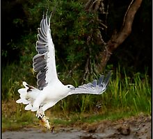 Sea Eagle 26 by John Van-Den-Broeke