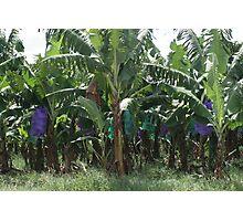 Banana Farm Photographic Print
