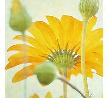 Sunny Daisy Photographic Print