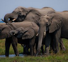 Thirsty Family.- Loxodonta africana( African Bush Elephant) by LG2001