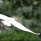 Egret in flight by Greg Parfitt