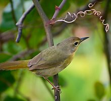 Altamira Yellowthroat by William  Goldsmith