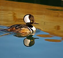 Male Hooded Merganser by imagetj