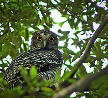 Powerful Owl by Lucas D'Arcy