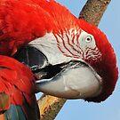 Parrot portrait by Alan Mattison