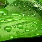 Green leaf of calla by Ana Belaj
