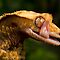 Crested Gecko by Val Saxby