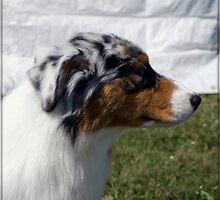 Australian Shepherd Profile by jodi payne
