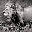 King of beasts  Black &amp; White version by Owed to Nature