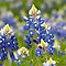 Texas Bluebonnet by Slaughter58