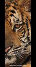 Tiger series 001 by Karl David Hill