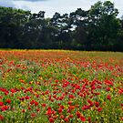 Poppy Flower Field by Vicki Field