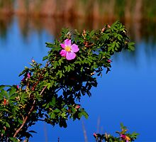 Prairie Wild Rose by Larry Trupp