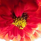 Red Zinnia I by Brian Achille