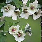 Malva that looks like a Hollyhock! by Rose Landry