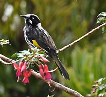 New Holland Honey Eater    (Australia) by jainiemac