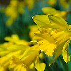 February Daffodils by DonCondley