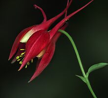 Red Columbine  by EbyArts