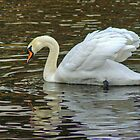 Mute Swan by VoluntaryRanger