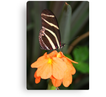 Zebra Longwing on Flower - Heliconius charithonia Canvas Print