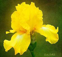 Painted Yellow Iris by Anita Pollak