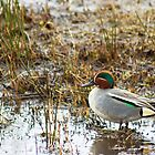 Common Teal by VoluntaryRanger
