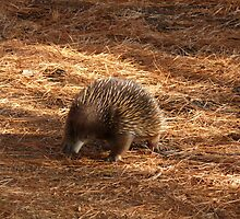 Echidna survivor by JudyDarcy