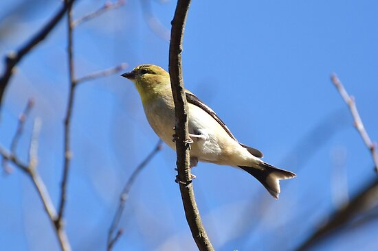 American Goldfinch by William Brennan
