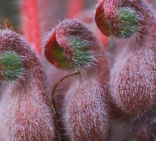 Grevillea thyrsoides, subsp. thyrsoides by andrachne