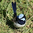 Superb Blue Wren  by KarenEaton