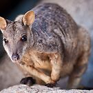 Rock Wallaby by Dieter Tracey