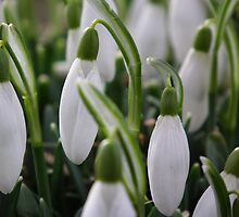 Snow drops on the Downs by mike  jordan.